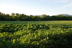 Soya Bean Field Stock Images