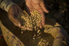Soya beans Royalty Free Stock Image