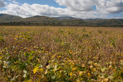 Soya field. The large soya field in South Africa Stock Photo
