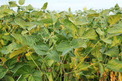 Soya field Royalty Free Stock Images