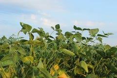 Soya field Stock Image