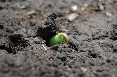 Soya. Sprouting, the plant doesn't have real leafs, but only from seed lobe Stock Photography