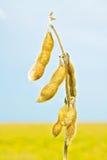 Soyabohnen Stockbilder
