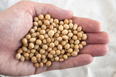 Soybean Stock Photography