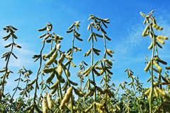 Soybean. A soybean group in a plantation royalty free stock photography