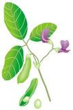 Soybean. Art illustration: a piece of a soybean tree Stock Photos