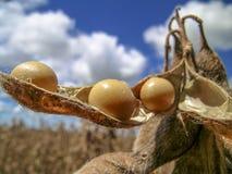 soybean fotografia de stock royalty free
