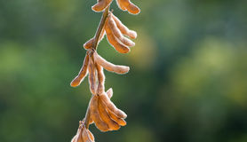 Soybean Stock Images