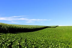 Soybean and corn cultivation in the south of Brazil. Beautiful green fields growing side by side with blue sky as a background. Agriculture generating money Royalty Free Stock Photography