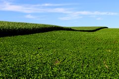 Soybean and corn cultivation in the south of Brazil. Beautiful green fields growing side by side with blue sky as a background. Agriculture generating money Royalty Free Stock Photo