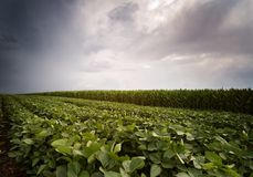 Soybean and corn fields ripening at spring season stormy day Stock Image