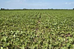 Soybean crop. Soybean field planted in Cordoba, Argentina Royalty Free Stock Photos