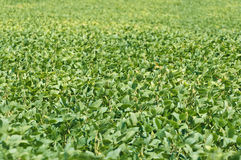 Soybean Crop With Compressed Perspective and Shallow Depth of Field Royalty Free Stock Images