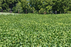 Soybean Crop With Fence In Background Royalty Free Stock Image