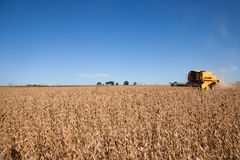 Soybean crop . royalty free stock photography