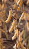 Soybean Crop Yield Royalty Free Stock Photos