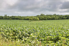 Soybean crops in Missouri Royalty Free Stock Photos