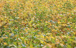 Soybean cultivation in the immense cultivated field in summer Royalty Free Stock Photography