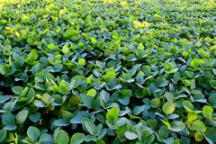 Soybean cultivation in the south of Brazil. Beautiful green fields growing. Naturally in the nature. Agriculture generating money and employment for the local Royalty Free Stock Images