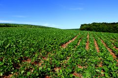 Soybean cultivation in the south of Brazil. Beautiful green fields growing. Naturally in the nature. Agriculture generating money and employment for the local Stock Photography