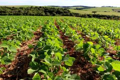 Soybean cultivation in the south of Brazil. Beautiful green fields growing. Naturally in the nature. Agriculture generating money and employment for the local Stock Images