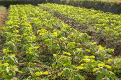 Soybean farm Royalty Free Stock Photos
