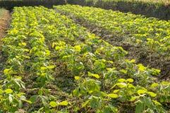 Soybean farm. Farm with soybean field with rows of soya bean plants royalty free stock photos
