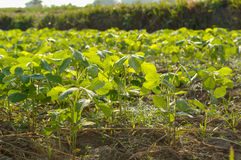 Soybean farm. Farm with soybean field with rows of soya bean plants royalty free stock images