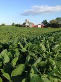 Soybean Farm Royalty Free Stock Photo
