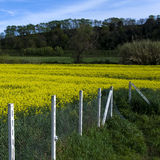 Soybean field. Picture of a soybean field in Tuscan. (Italy royalty free stock images