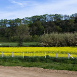 Soybean field. Picture of a soybean field in Tuscan. (Italy royalty free stock photo