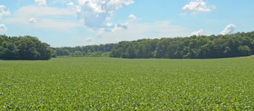 Free Soybean Field Stock Photography - 15288882