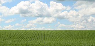 Soybean Field. Rows of green soybeans against a blue sky with clouds Stock Photos