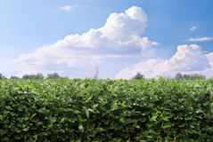 Soybean Field. Located in Kentucky royalty free stock photography