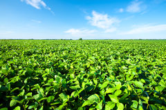 Soybean field. Rural landscape with fresh green soy field. Soybean field royalty free stock images