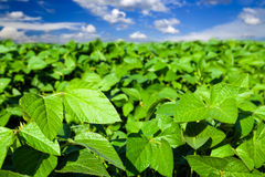 Soybean field. Farm field with Soybean. Agriculture landscape royalty free stock images