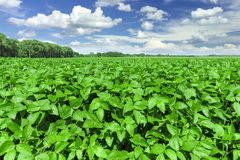 Soybean field. And blue sky royalty free stock photography