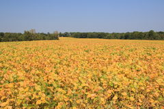 The soybean field Stock Photography