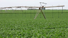 Soybean field agriculture stock video