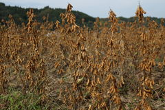 Soybean field autumn. It is a soybean field in November. Before harvest, fall, Japan Stock Images
