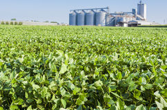 Soybean field Stock Images