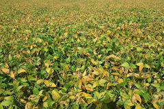 Soybean Field Background Stock Image