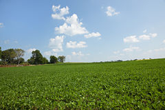 Soybean field and blue sky Royalty Free Stock Images