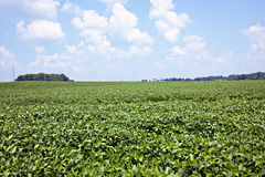 Soybean field with blue sky Stock Photos