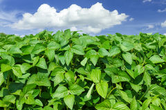 Soybean field. And blue sky stock photo
