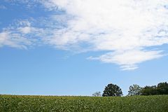 Soybean field and blue sky. A field of soybeans and a blue sky with white clouds Royalty Free Stock Photo