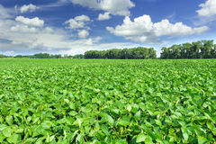 Soybean field. And blue sky royalty free stock image