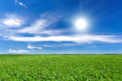 Soybean field Stock Photos
