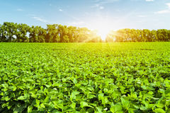 Soybean field. And blue sky Royalty Free Stock Photo
