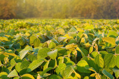 Soybean field. Close up photo of a soybean field stock photo